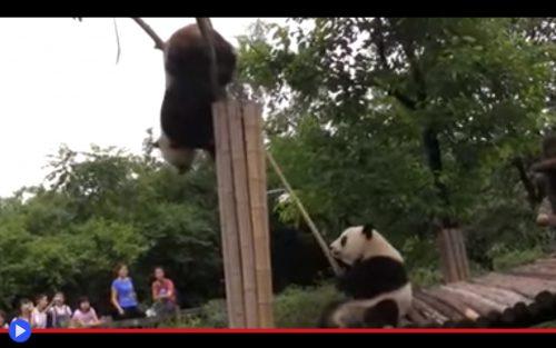 Panda Stuck