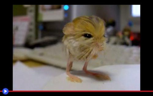 pigmy-jerboa