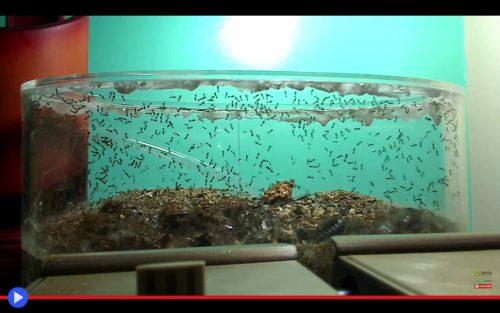 solenopsis-escape