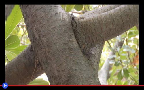 Tree Pleaching