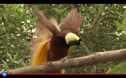 greater-bird-of-paradise