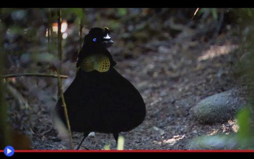 parotia-bird-of-paradise