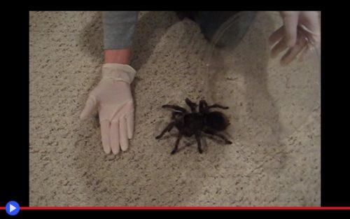 zilla-tarantula