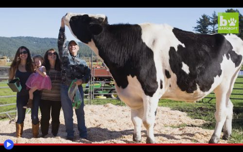 giant-holstein-cow