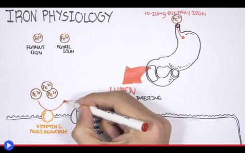 iron-physiology