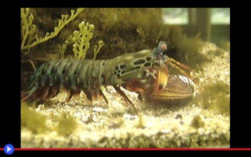 mantis-shrimp-clam