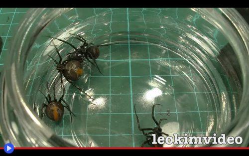 redback-spiders
