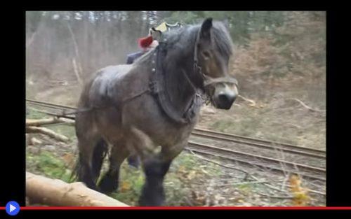 brabant-horse