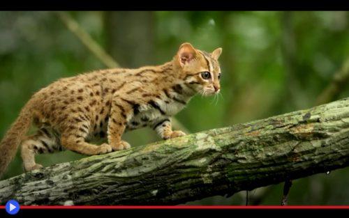 Il Gatto Selvatico Più Piccolo Del Subcontinente Indiano Il Blog