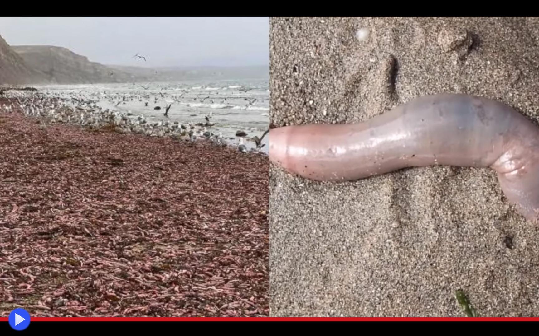 proboscide pene